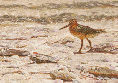Miniature Painting of a Red Knot by Wes Siegrist